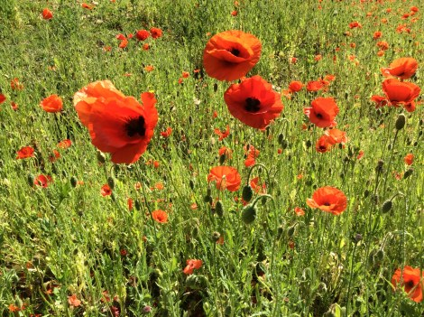 Poppies near Mitcham war memorial