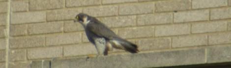 Peregrine Falcon on the Civic Centre, Morden.